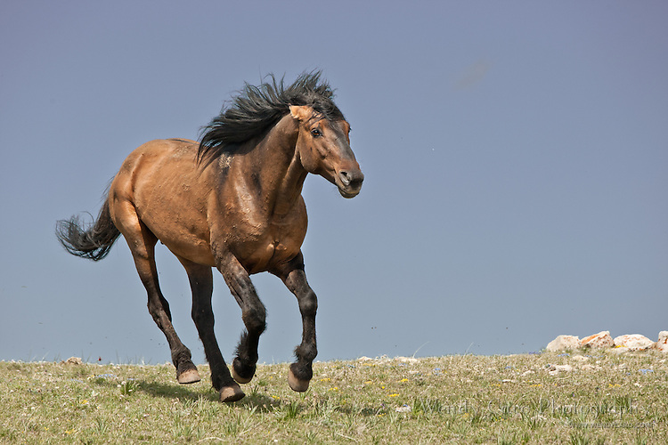 Snadman, a band stallion,  galloping to join the playful antics of a group of batchelors,Pryor Mountains, Wyoming.
