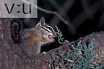 Cliff Chipmunk (Eutamias dorsalis) Arizona, USA