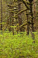 Devil's Club, Oplopanax horridus, Alaska and moss covered trees, Alaska