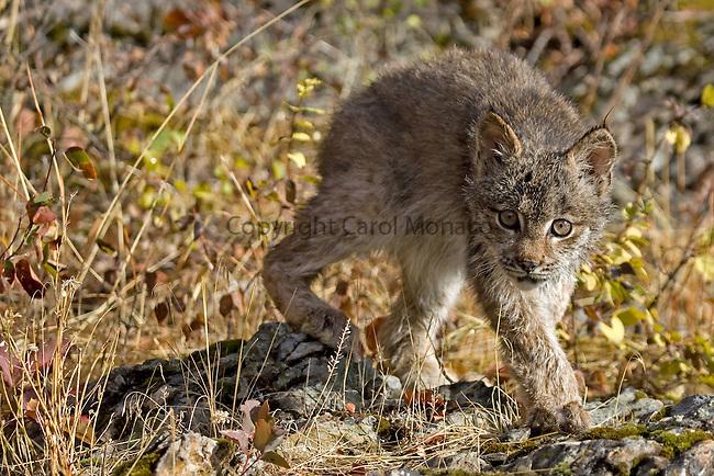 A threatened Canada lynx cub walking on some rocks, Montana, North America
