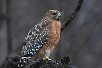 Courtesy photo/TERRY STANFILL<br />RULING THE ROOST<br />A red-shouldered hawk is seen in west Benton County. Terry Stanfill of the Decatur area took the picture Dec. 19 near his home.