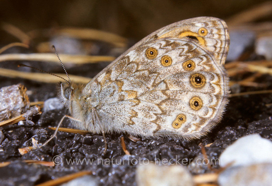 Mauerfuchs, Lasiommata megera, Wall Brown, Wall Brown Butterfly