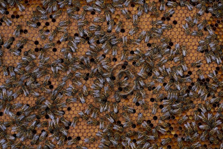On the brood, the bees incubate the sealed cells that contain the pupae to maintain their temperature at 35&deg;. We can also see empty cells in the brood. The bees will slip into them to warm, through the movement of their muscles, the surrounding cells.<br /> Sur le couvain, les cellules opercul&eacute;es qui contiennent les nymphes sont couv&eacute;s par les abeilles pour maintenir leur temp&eacute;rature &agrave; 35 &deg;. On remarque des cellules vides dans le couvain. Elles permettent &agrave; des abeilles de s&rsquo;y glisser pour r&eacute;chauffer avec le mouvement de leurs muscles, les cellules environnantes.