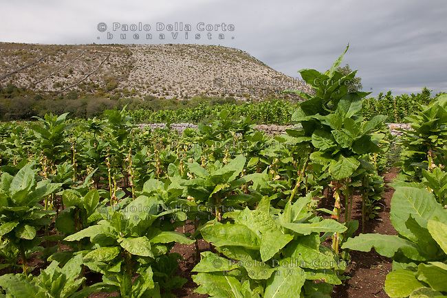 Albania - Luigj Simoni è un produttore di tabacco che lavora poco distante da Scutari, nel Nord dell'Albania. LA PIANTAGIONE DI TABACCO