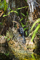 Also known as the snakebird, the anhinga is a common fish-eating bird found along the coasts and interior of Florida. This female was perched at the base of an old bald cypress in the heart of the Sweetwater Strand of the Florida Everglades.