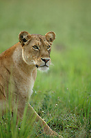 Female African lion in Murcheson Falls National Park in northwestern Uganda. (Rick D'Elia)