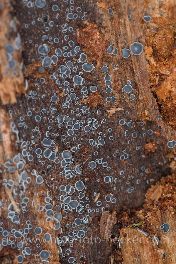 Weich-Becherchen, Weichbecherchen, Weichbecherchen auf Totholz, saprophytisch auf totem Holz, Mollisia spec., Belonopsis spec., Disco ascomycete, Schlauchpilze, Ascomycetes, Ascomycota, ascomycete