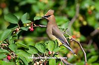 01415-02908 Cedar Waxwing (Bombycilla cedrorum) in Serviceberry Bush (Amelanchier canadensis), Marion Co., IL