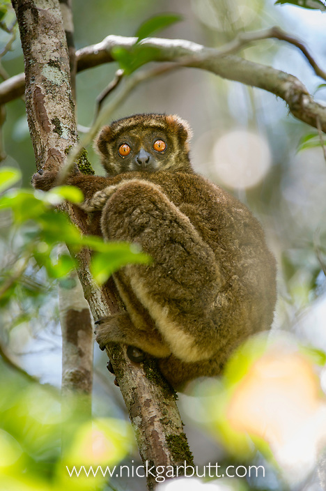 Eastern Woolly Lemur or Eastern Avahi (Avahi laniger) resting in forest understorey. Andasibe-Mantadia National Park, eatern Madagascar.