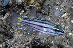Apogon compressus, Split-banded cardinalfish, Raja Ampat, Indonesia
