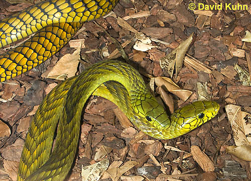 0423-1108  Mating Snakes, Pair of Western Green Mamba (West African Green Mamba) in Copulation, Dendroaspis viridis  © David Kuhn/Dwight Kuhn Photography