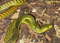 0423-1108  Mating Snakes, Pair of Western Green Mamba (West African Green Mamba) in Copulation, Dendroaspis viridis  © David Kuhn/Dwight Kuhn Photography