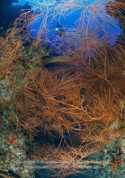 TR4282-Dr. Bushy Black Coral (Antipathes caribbeana), large bush about 6 feet tall along a wall in 80 feet. Because of over harvesting for jewelry, it is now rare to see big colonies like this shallower 150 feet deep. Cayman Islands, Caribbean Sea.<br /> Photo Copyright &copy; Brandon Cole. All rights reserved worldwide.  www.brandoncole.com