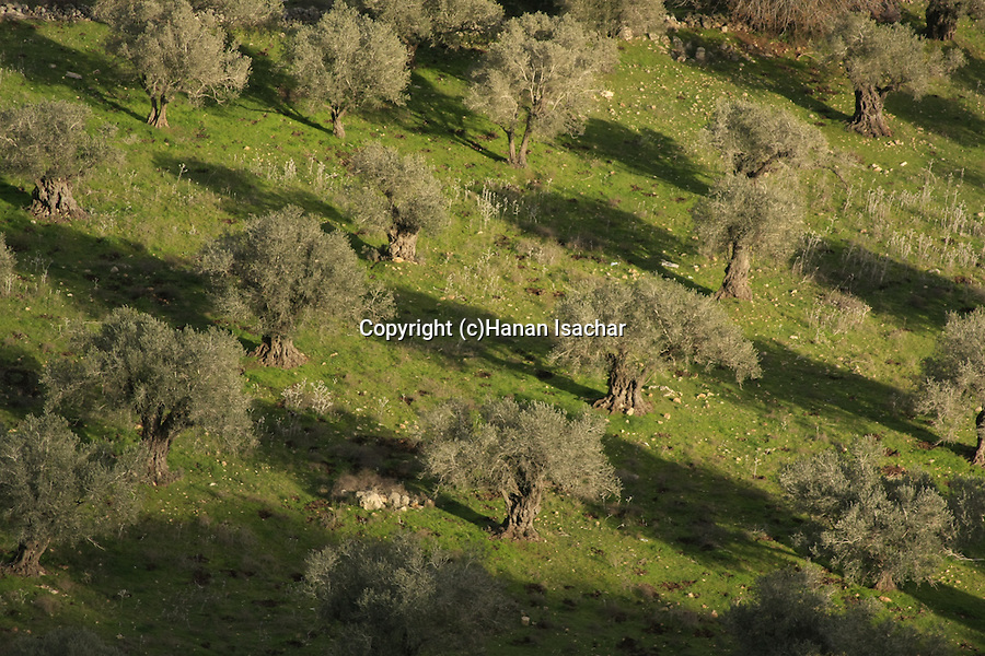 Israel, Mount Carmel. View of an Olive grove from the Muhraka