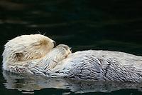 Sea Otter (Enhydra lutris) sleeping.