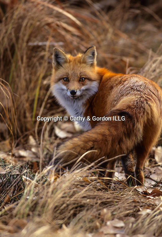 Red fox (Vulpes vulpes) and fall color, Jefferson County, CO