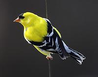Male American goldfinch in breeding plumage