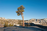 Lone tree at Olmsted Point lookout area, Yosemite national park, California, USA
