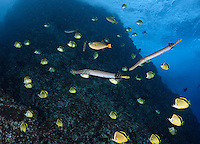 RM0348-D. two Trumpetfish (Aulostomus chinensis) pause at cleaning station to be cleaned by dozens of Barberfish (Johnrandallia nigrirostris). Baja, Mexico, Pacific Ocean.<br /> Photo Copyright &copy; Brandon Cole. All rights reserved worldwide.  www.brandoncole.com