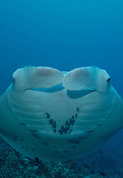 Portrait of a manta swimming over Ukumehame reef Maui Hawaii.