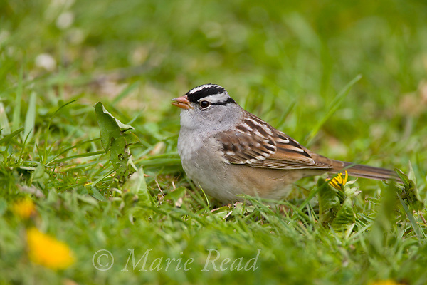 White-crowned Sparrow (Zonotrichia leucophrys) adult in spring, New York, USA