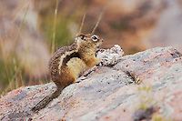 Golden-mantled Ground Squirrel, Spermophilus lateralis, adult eating wild mushroom, Rocky Mountain National Park, Colorado, USA, September 2006