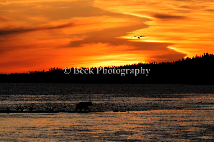 A GRIZZLY BEAR SEARCHING FOR SALMON AT SUNSET