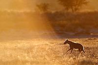 Spotted hyena running in Nossob Riberbed in golden light