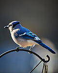 Blue Jay. Image taken with a Nikon D5 camera and 600 mm f/4 VR lens (ISO 560, 600 mm, f/4, 1/1250 sec)