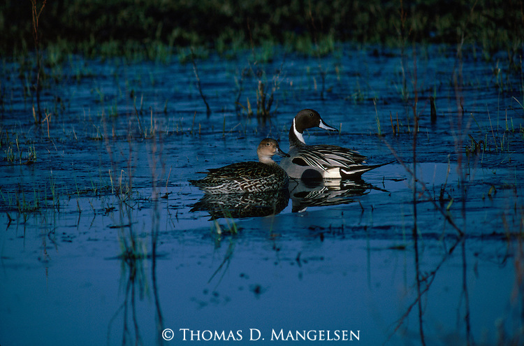 A northern pintail pair on a lake in the Malheur National Wildlife Refuge in Oregon.