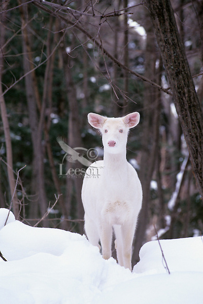 Albino White-tailed Deer doe.  Great Lakes Region.  Winter.