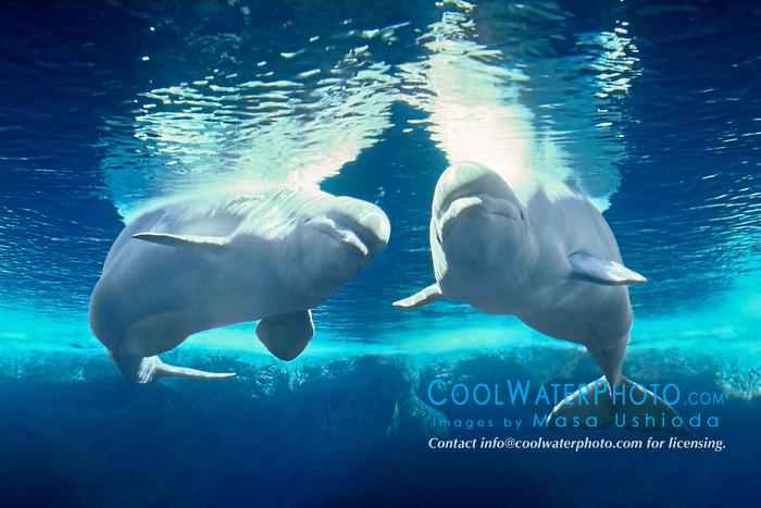 belugas or white whales, Delphinapterus leucas, discontinuous circumpolar