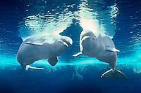 Beluga / White Whale