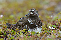 Adult Black Turnstone (Arenaria melanocephala) brooding newly hatched chicks away from the nest. Yukon Delta National Wildlife Refuge, Alaska. July.