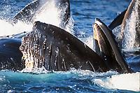 adult humpback whales, Megaptera novaeangliae, cooperatively 'bubble-net' feeding, Alaska, USA, Pacific Ocean