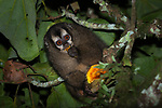 Night Monkey Aotus nigriceps, pre-montane forest, Cali, Colombia