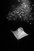 reef manta ray, Manta alfredi, feeding on plankton attracted by lights placed by divers at night among schooling Hawaiian flagtail or aholehole, Kuhlia xenura ( endemic species), in Makako Bay, Keahole, Kona, Hawaii Island ( the Big Island ), Hawaii, USA ( Central Pacific Ocean )