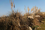 Pampas grass grown as ground cover game birds