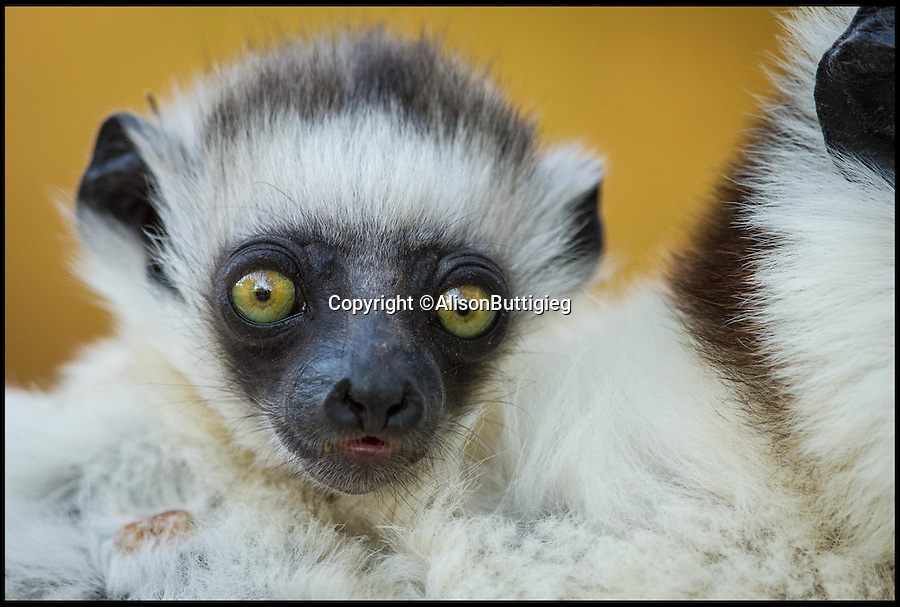 """BNPS.co.uk (01202 558833)<br /> Pic: AlisonButtigieg/BNPS<br /> <br /> ***Pleae Use Full Byline***<br /> <br /> A Verreaux Sifaka, who habitats in Madagascar.<br /> <br /> With video.<br /> <br /> verreaux's sifaka<br /> <br /> This is the hilarious moment a group of lemurs scrambled down a tree and burst into a fantastic dance display.<br /> <br /> The primates had been eating berries from the top of the tall bark when they decided to cross a dirt road to a cluster of other trees.<br /> <br /> As they landed on the ground each one burst into an array of impressive dance moves, including twirls, jumps, spins and stretches.<br /> <br /> They boogied their way across the track without stopping and even performed a few acrobatic stunts.<br /> <br /> The elaborate routine only stopped when they reached another trunk and scrambled up to the top.<br /> <br /> The whole thing was captured on camera by Allison Buttigieg, who was watching the lemurs' antics with her boyfriend, Olli Teirila.<br /> <br /> The couple were enjoying a holiday on the island of Madagascar in the hope of photographing the dancing, made famous by the animated DreamWorks film.<br /> <br /> Allison, 34, from Helsinki in Finland, said: """"Part of the reason I wanted to go to Madagascar is because they have lemurs there that look like they are dancing.<br /> <br /> """"We went to a spot where there were a group of them up in the trees and waited for many hours for them to move.<br /> <br /> """"Normally they jump from tree to tree but they had to cross a dirt road, so we were waiting for them to do that.<br /> <br /> """"Eventually they came down from the trees and started doing their little dance.<br /> <br /> """"They are adapted to the trees and they can't crawl so this is why they do it.<br /> <br /> """"I had seen them doing it on documentaries before and I had always said I wanted to go and see them for myself and take photos.<br /> <br /> """"It was very amusing and looked so funny, taking pictures was hard because I"""