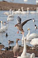 Greylag goose ,Anser anser, landing at Martin Mere, Lancashire.