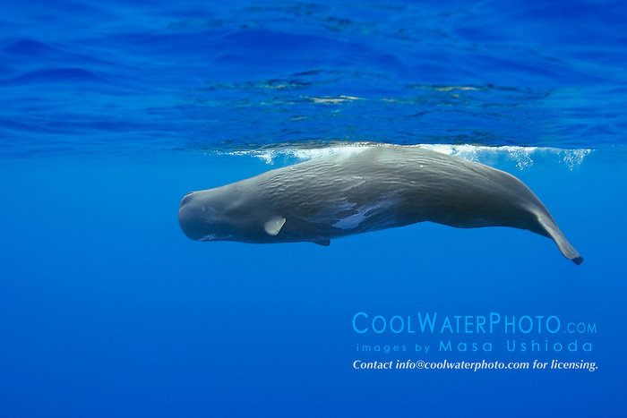 sperm whale, Physeter macrocephalus, showing wrinkled skin, Hawaii, USA, Pacific Ocean
