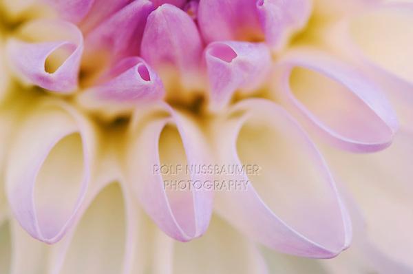 Dahlia, Dahlia sp., blooming, garden flower, Oberaegeri, Switzerland, Europe