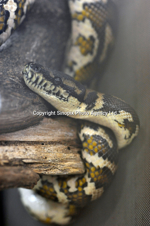 Common Carpet Python for sale at 84,000 yen (933 US$) at the Noah Inner City Zoo - a pet shop that sells exotic animals. The Noah Inner City Zoo is a pet shop that sells exotic animals. The 'zoo' claims to have more than 300 species for sale, many of which are rare and some are even endangered.