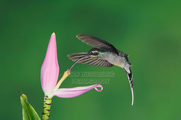 Green Hermit, Phaethornis guy, female in flight feeding on Ornamental Banana plant flower(Musa velutina), Central Valley, Costa Rica, Central America