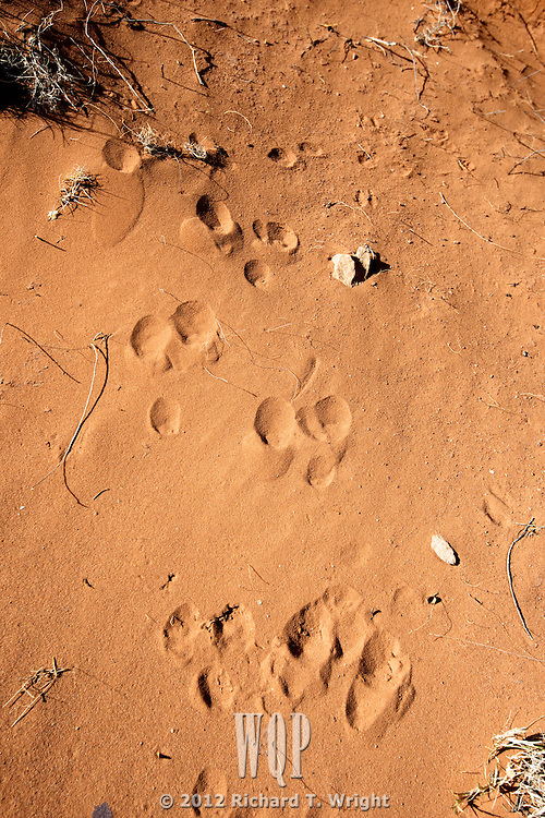 Rabbit tracks in desert sand at Canyon de Chelly
