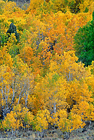 742900091 aspens in fall color in summers meadow in the eastern sierras california