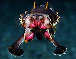 Flambouyant Cuttlefish Face 2 Face