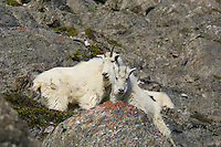 Mountain Goats (Oreamnos americanus).  Northern Rockies.  June.