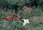 pumas hunting chicken