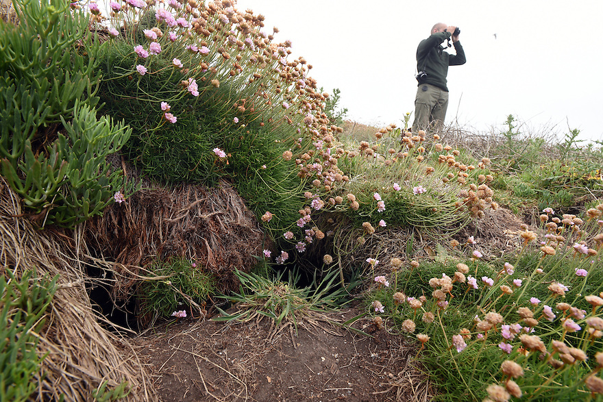 THE ISLES OF SCILLY SEABIRD RECOVERY PROJECT. MANX SHEARWATER BURROWS ON THE ISLAND OF GUGH. 17/06/2015.  PHOTOGRAPHER CLARE KENDALL.